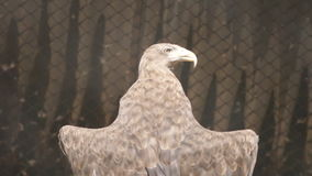 SLOW: White-tailed sea-eagle bask under a sun (back view) stock video