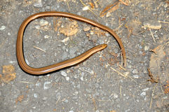 Slow Worm Stock Photo