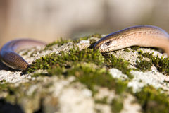 Slow-worm Stock Images