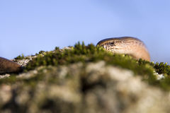 Slow-worm Royalty Free Stock Photos