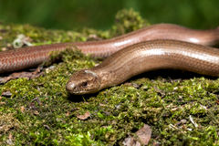 Slow worm Anguis colchica Royalty Free Stock Photos