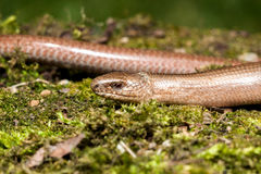 Slow worm Anguis colchica Stock Images
