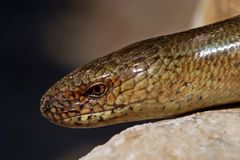 Slow worm Anguis colchica on lime rock. Royalty Free Stock Photo