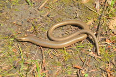 Slow worm Royalty Free Stock Images