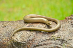 Slow worm. (Anguis colchica) from Romania Royalty Free Stock Photography