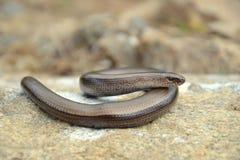 Slow worm Stock Photo
