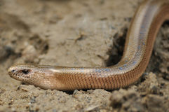 Slow Worm (Anguis fragilis) Royalty Free Stock Photography