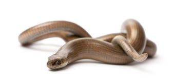 Slow worm - Anguis fragilis Stock Photo