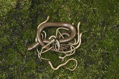 Slow worm, Anguis fragilis stock images