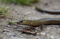 Slow Worm, Anguis fragilis, Blind Worm Royalty Free Stock Image