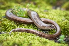 Slow-worm (Anguis fragilis) Royalty Free Stock Images