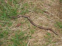 Slow Worm ( Anguis fragilis ) Royalty Free Stock Photography