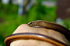 Slow worm  Anguis fragilis legless lizard Royalty Free Stock Images