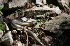 Slow worm anguis fragilis lizard in the forest Royalty Free Stock Image