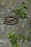 Slow worm, Anguis fragilis, Royalty Free Stock Images