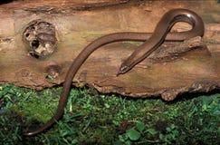 Slow worm, Anguis fragilis, Stock Image