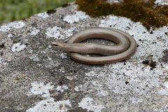 Slow worm, Anguis fragilis Stock Photography