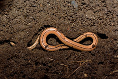 Slow worm (Anguis fragilis) in soil shaped like a figure of eight Stock Image