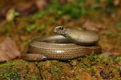 Slow worm (Anguis fragilis). To the sun on the mossy ground Royalty Free Stock Images