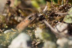 Slow worm (Anguis fragilis) visible amongst undergrowth Stock Images
