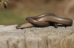 A Slow-worm Anguis fragilis warming itself in the sun. A pretty Slow-worm Anguis fragilis warming itself in the sun royalty free stock photo