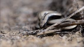 Slow worm Anguis fragilis warming up and moving. A legless lizard shown basking curled up, then moving off across moss into undergrowth stock video footage