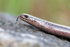 Slow Worm or Blind Worm, Anguis fragilis Stock Images