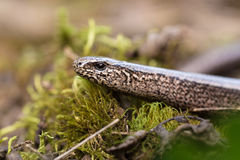 Slow Worm or Blind Worm, Anguis fragilis Stock Image