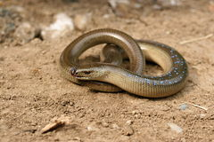 Slow worm with blue spots Royalty Free Stock Photo