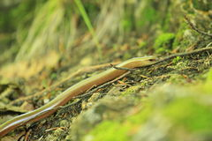 Slow worm Stock Photos