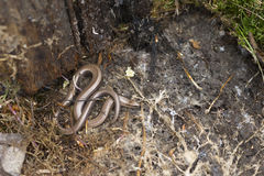 Slow Worm. Found under old logs stock image