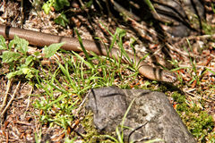 Slow worm in the grass by the rock Royalty Free Stock Photos