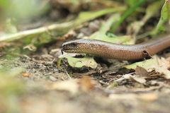 Slow worm Royalty Free Stock Photography