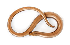 Slow worm or legless lizard Stock Photo