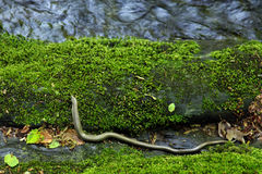 Slow worm. Near the river Royalty Free Stock Image