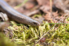 Free Slow Worm Or Blind Worm, Anguis Fragilis Stock Photos - 77642463