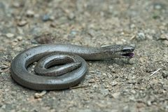 Slow-worm Stock Photography