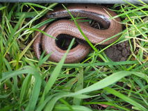 A Slow-worm uncoverd Stock Photo