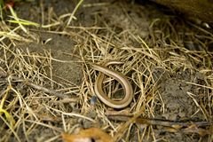 Slow worm Royalty Free Stock Photos