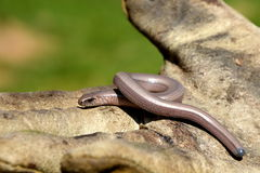 Slow worm on the work glove Stock Photo