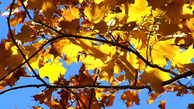 Slow zoom in on red and yellow maple leaves stock video footage