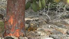 Slow zoom in shot of  land iguana and the trunk of a cactus tree stock video footage
