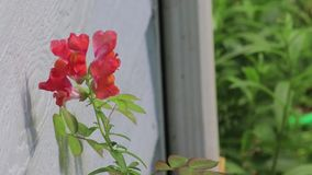 Slow zoom in on snap dragon. Slow zoom in on pink snap dragon stock video