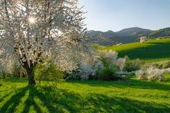 Slowaakse de kersenboom van het de lentelandschap Stock Afbeelding