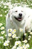 Slowakisches Chuvach in den weißen Blumen Lizenzfreies Stockbild