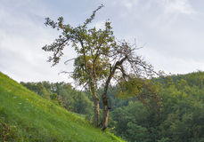 Slowenien-Waldberglandschaft mit einsamem gekrümmtem Baum Stockbilder