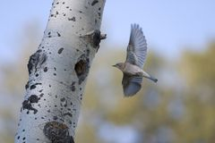 slowik wrócił latanie gniazdo zdjęcie royalty free
