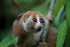 Slowloris Obraz Royalty Free