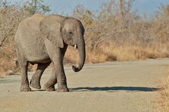 Slowly. Young African elephant crosses a road in Kruger National Park Stock Image