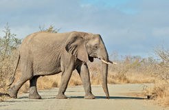 Slowly. Old matriarch African elephant crosses a road in Kruger National Park Stock Photography
